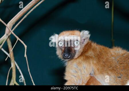 Sclater's black lemur (Eulemur macaco flavifrons) adult female in the canopy, North West Madagascar
