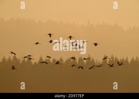 Common Crane (Grus grus) flying group, Fagne wallonne, Ardennes, Belgium - Stock Photo