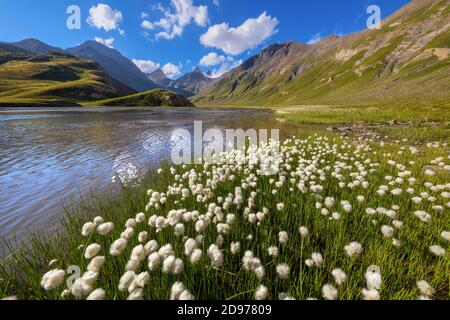 Cotton grass (Eriophorum sp) on the shores of Goleon lake, in the background, the Aiguilles d'Arves, Ecrins National Park, north of La Grave,