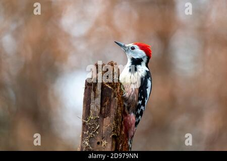 Middle Spotted Woodpecker (Dendrocopos medius) on a dead tree trunk in winter, Moselle, France - Stock Photo