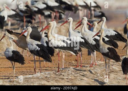 White Stork (Ciconia ciconia), a flock standing on the ground, South Sinai Governorate, Egypt - Stock Photo