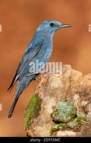Blue Rock Thrush (Monticola solitarius), side view of an adult male perched on a rock, Campania, Italy
