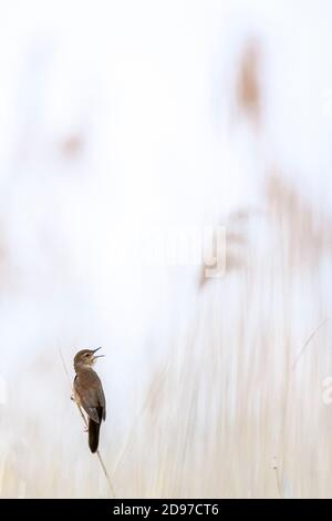Great reed warbler (Acrocephalus arundinaceus) singing on reed, Slovakia - Stock Photo