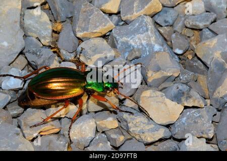 Ground beetle (Carabus auratus) on rocks