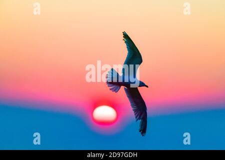 Herring Gull (Larus argentatus ) flying at sunrise over the Cape Frehel colony, Brittany, France - Stock Photo