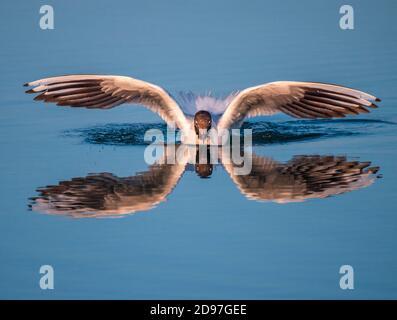 Black-headed Gull (Chroicocephalus ridibundus) landing on the water with its reflection, France - Stock Photo