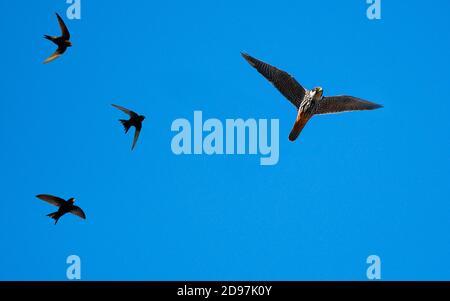 Hobby falcon (Falco subbuteo) hoofed by Common Swift (Apus apus) in flight, Parc naturel regional des Vosges du Nord, France