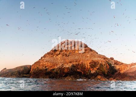 Northern Gannet (Morus bassanus), Colony of Ile Rouzic, 7 Islands Reserve, Brittany, France - Stock Photo