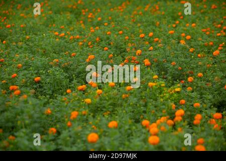 Beautiful blooming orange marigold flowers in the garden. Orange Green flowers background. - Stock Photo