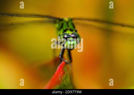 Macro image of a common green darner dragonfly (Anax Junius) perched on a croton plant leaf. Florida, U. S. A. , North America.