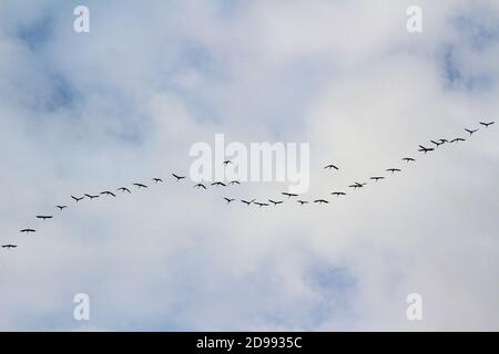Common crane (Grus grus) flying while migrating over Sopron, Hungary in autumn - Stock Photo