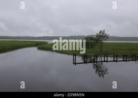 Green reeds of a lake, solo tree and wooden bridge on the right. - Stock Photo