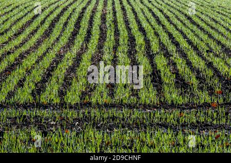 new shoots from a newly planted crop on farmland or agricultural land in west sussex. farming crops on arable land.