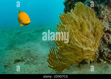 Garibaldi, Hypsypops rubicundus, the California State Marine Fish, SCUBA diving at Catalina Island, California, USA Stock Photo
