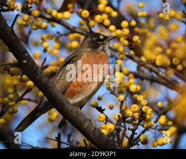 American Robin (Turdus migratorius), standing on a branch of a golden crabapple tree covered in autumn fruit