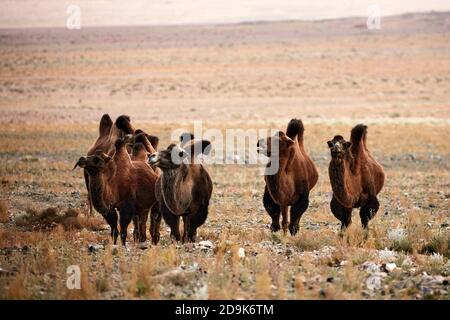 Bactrian camel in the steppes of Mongolia. the transport of the nomad. A herd of Animals on the pasture.