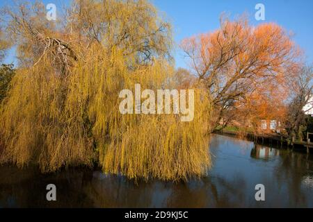 willow trees in spring on the River Avon, Christchurch, Dorset, England - Stock Photo