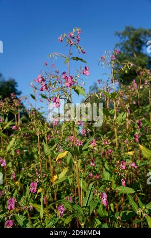Germany, Bavaria, Upper Bavaria, Glandular balsam, Impatiens glandulifera Stock Photo