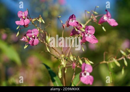 Germany, Bavaria, Upper Bavaria, Glandular balsam, Impatiens glandulifera, flowers Stock Photo