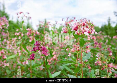 Glandular balsam Impatiens glandulifera