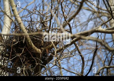 An empty ravens nest in a white birch tree, in late fall in Thunder Bay, Ontario, Canada . Stock Photo