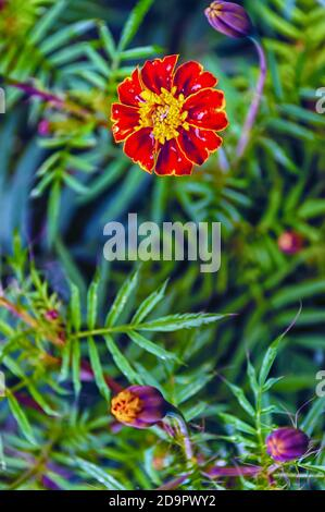 A close up of a blooming French marigold—Tagetes patula—in a home garden.
