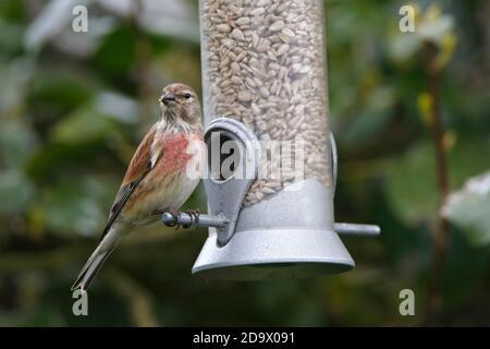 (Common) LINNET (Linaria cannabina/Carduelis cannabina) male on a garden bird feeder.