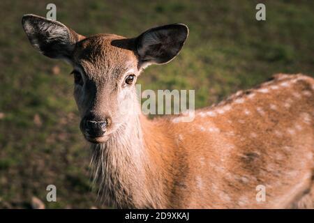 Wild deer nips grass in a green meadow. Nature, beautiful animals live in their habitat.
