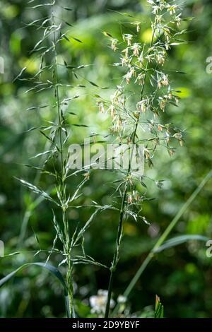 False Oat Grass, Arrhenatherum elatius - Stock Photo