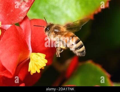 A Western or European Honey Bee in flight