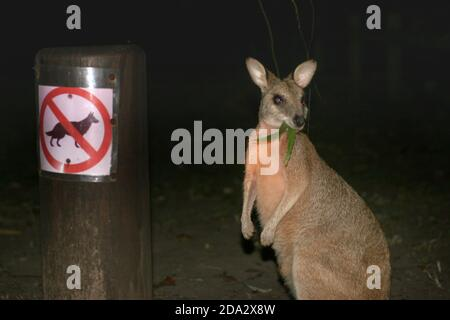 Red-necked wallaby, Bennett´s Wallaby (Macropus rufogriseus, Wallabia rufogrisea), feeding next to a prohibition sign for dogs, Australia, Queensland