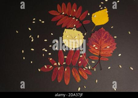 Composition of leaves of rowan, aspen, birch on a black background - Stock Photo