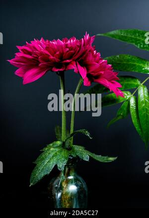 pink flowers and a large green leaf on a dark background