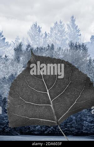 Leaf of Cottonwood in black and white in front of a bluish foggy forest composition in the background Stock Photo