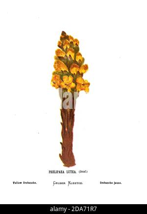 Yellow or desert broomrape (Cistanche tubulosa [Here as Phelipaea Lutea]) From the book Wild flowers of the Holy Land: Fifty-Four Plates Printed In Colours, Drawn And Painted After Nature. by Mrs. Hannah Zeller, (Gobat); Tristram, H. B. (Henry Baker), and Edward Atkinson, Published in London by James Nisbet & Co 1876 on white background