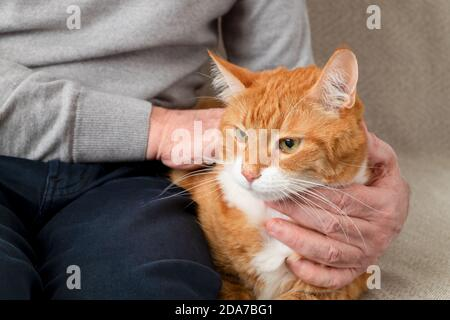 An adult large red cat sits on the couch next to its owner, an adult man. Horizontal orientation, selective focus. Stock Photo