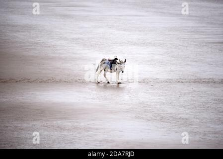 A solitary donkey stands alone on Weston-super-Mare beach on an overcast day at the end of the season Stock Photo