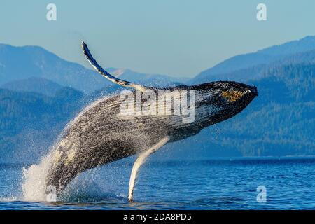 Humpback whale breaching in front of the beautiful scenery of the British Columbia Coastal Mountains near the Broughton Archipelago, First Nations Ter