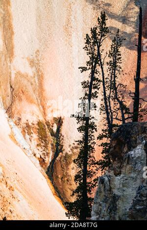 Abstract view of trees in the early morning light against canyon walls in the Grand Canyon of the Yellowstone National Park