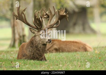 A large stag Red Deer, Cervus elaphus, resting in a meadow during rutting season.