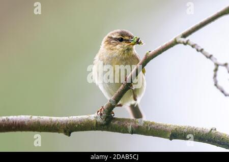 An adult willow warbler (Phylloscopus trochilus) with a beak full of grubs with which to feed its brood, perched on a willow branch near Loch Insh in - Stock Photo