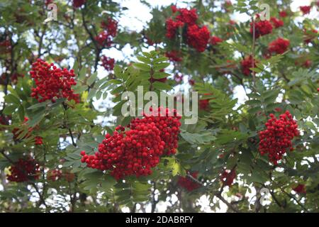 Rowan berry bunches hanging from the Rowan tree. Mountain Ash berries. Autumn trees and berries. Berries for birds (Rowan berries)