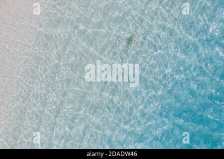 Aerial top down view of black tip sharks together in symbiosis with blue tuna swimming and hunting for a small fish in the early morning in shallows - Stock Photo