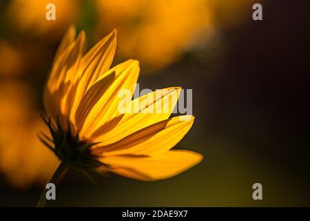 Daisy flower field over sunset. Stunning floral nature closeup, soft petals, blur bokeh garden colors. Dream flowers, delightful artistic image nature - Stock Photo