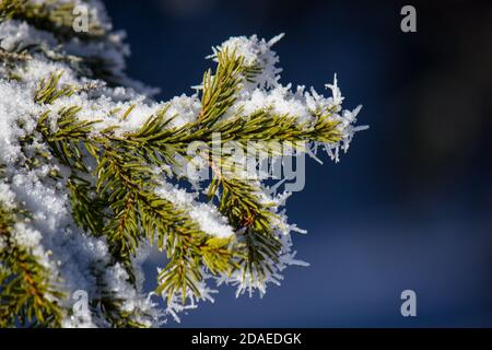 Fir tree (Picea Abies) branch covered in frozen snow during a cold winter in the Austrian Alps - Stock Photo