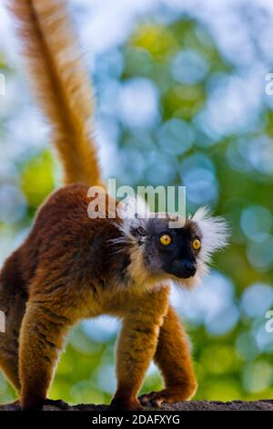 Female Black Lemur (Eulemur macaco) with brown hair, Nosy Be, Madagascar