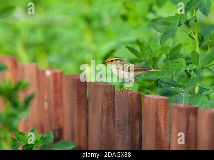 Pallas' leaf warbler (Phylloscopus proregulus), sitting on a wooden fence of a garden, China, Hebei - Stock Photo