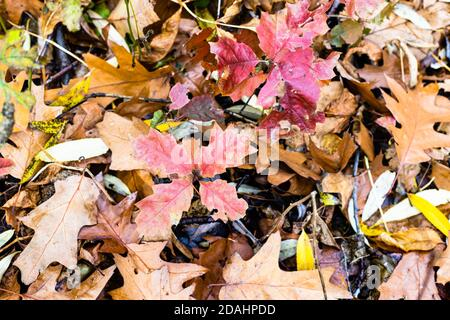 natural background - top view of red leaves of oak sprouts over fallen leaves on meadow in forest on autumn day - Stock Photo