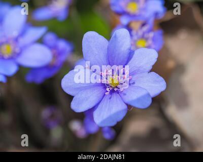 Anemone hepatica, blue blossom, close up. Violet purple Hepatica nobilis, first spring flower. Liverleaf or liverwort in the Ranunculaceae family.