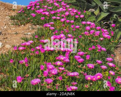 Floral background. Field of pink blooming sea fig flowers. Carpobrotus chilensis, ground creeping plant with succulent leaves in the family Aizoaceae. Stock Photo